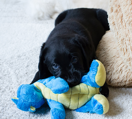 TODAY's black lab puppy playing with a toy.