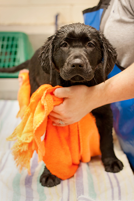 Black lab pup getting out of a bath.