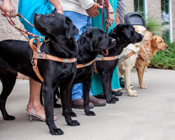 A group of guide dogs lined up for a day of training.