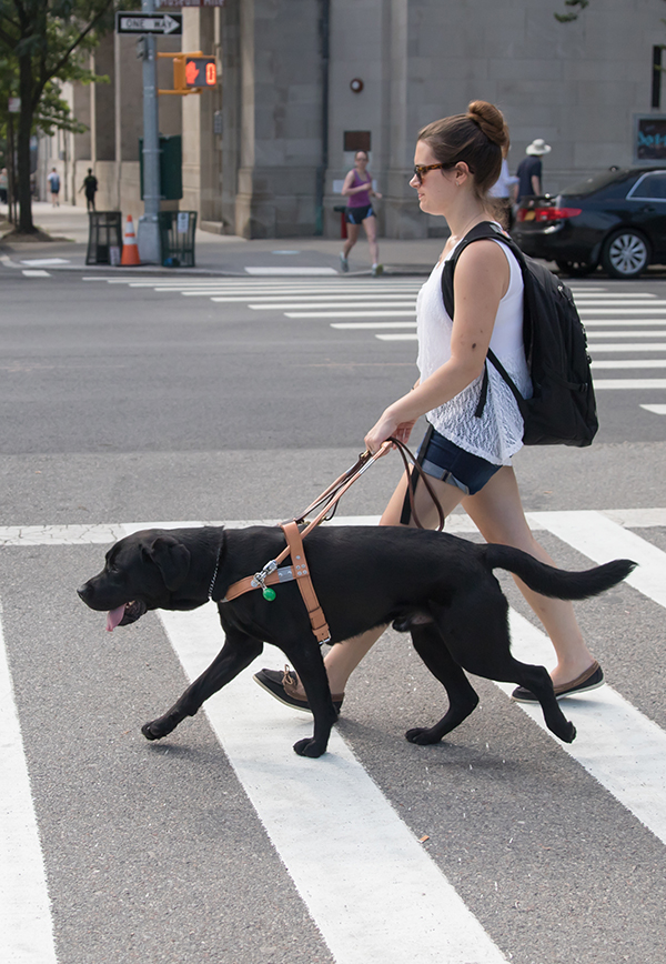A guide dog team crosses a NYC street.