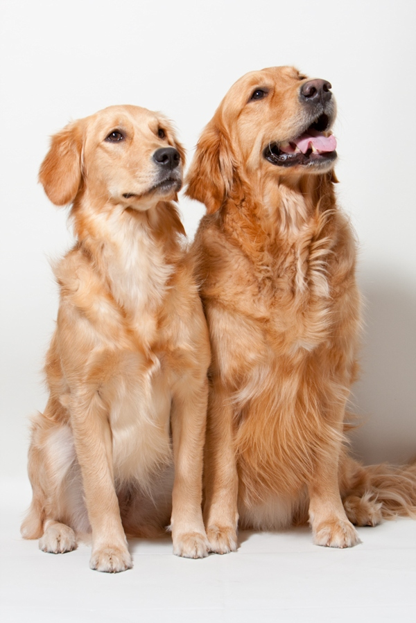 Two Golden Retriever breeder dogs pose for a photo.