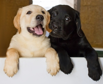 Yellow and black lab puppies in the kennel